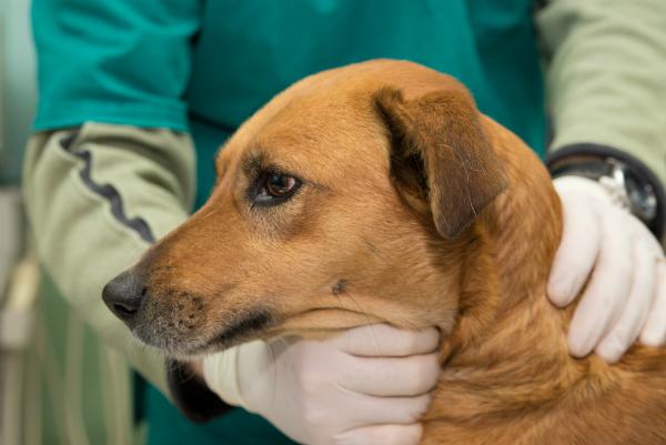 Mit einer Kastration lässt sich ungewollter Hundenachwuchs vermeiden