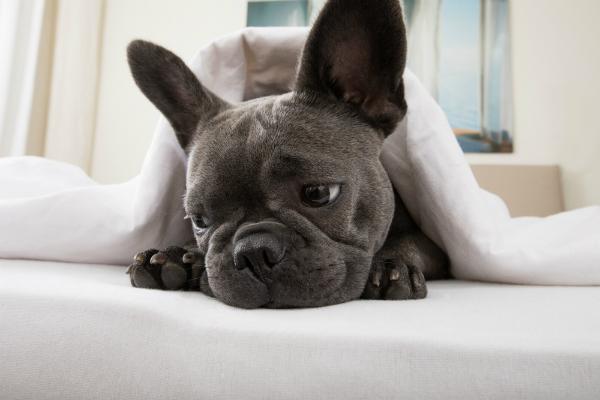 Wenn es Ihrem Hund nach dem Verzehr von verbotenen Speisen schlecht geht, sollten Sie dringend einen Tierarzt aufsuchen