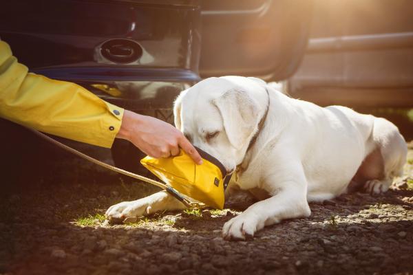 Junger Labrador trinkt Wasser aus einem Napf