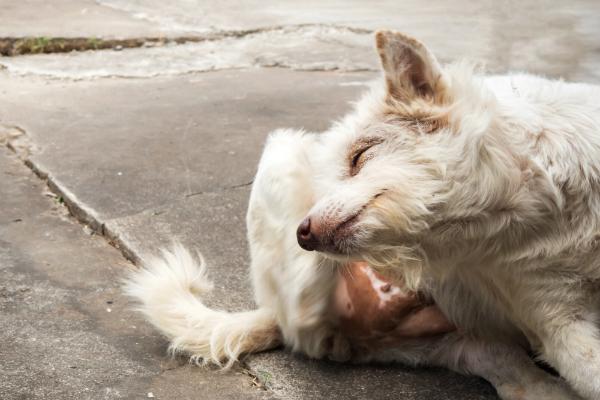 Haarausfall, häufiges Kratzen und wundgekratzte Hautstellen sind Anzeichen für eine Allergie beim Hund