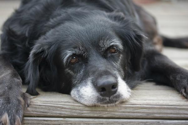 Schlappheit, Appetitlosigkeit und Schmerzen sind Symptome von Durchfall bei Hunden