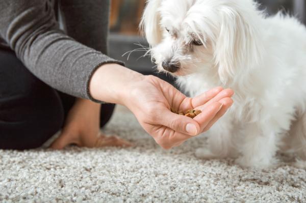 Manche Hunde verweigern das gewohnte Hundefutter, in der Hoffnung auf etwas Neues oder Besseres