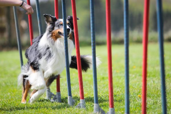 Ein Hund beim Agility Training