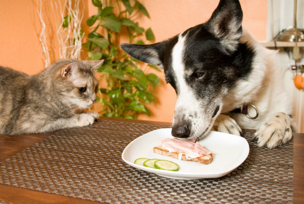 Wenn das Tier selbstständig Nahrung vom Tisch klaut ist aktives Training wichtig, um ihm das Verhalten abzugewöhnen