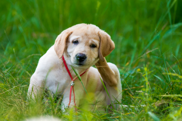 Kratzt Ihr Hund sich übermäßig oft und intensiv, könnte er an Fellmilben leiden