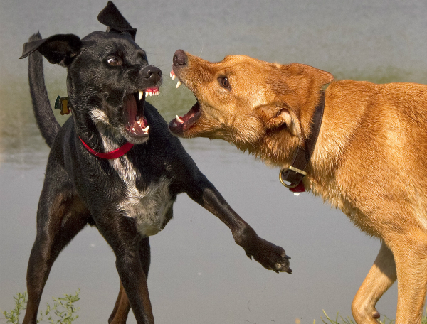 """Das Vorurteil """"Kampfhund"""" kommt den Rassen zugute, die für Hundekämpfe aggressiv trainiert wurden"""