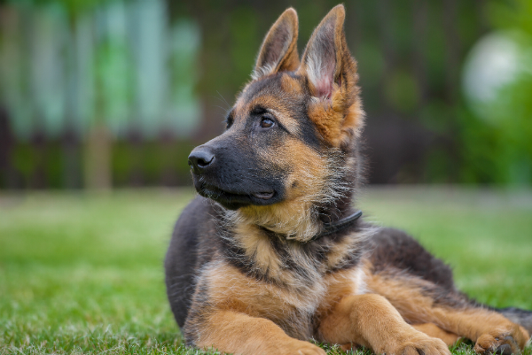 Junger Deutscher Schaeferhund