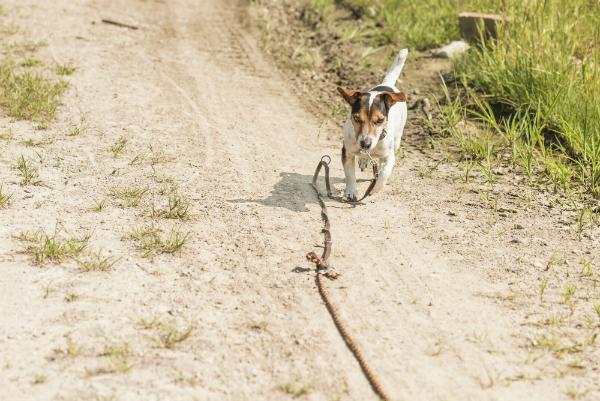 Kleiner Jack Russell Terrier an der Schleppleine