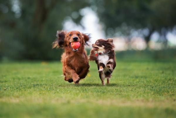 Dackel und Chihuahua