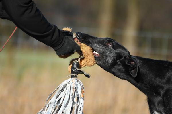 Windhund haelt gefangene Beute fest