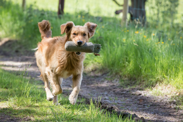 Golden Retriever Dummy Training