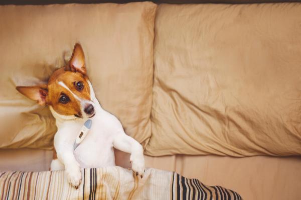 Fieber messen beim Hund geht im Grunde wie bei Menschen - rektal