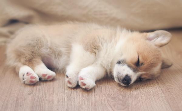 Ein Welpe liegt schlafend auf dem Fußboden. Große Hunderassen, Welpen und Junghunde sind für das Männchen-Kunststück noch nicht geeignet