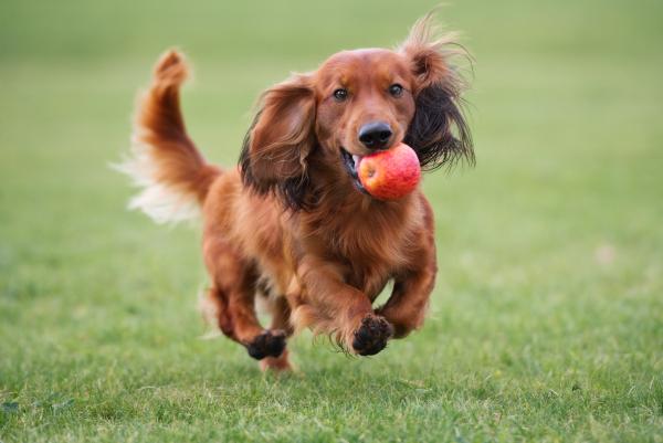 Brauner Dackelhund spielt mit einem Apfel