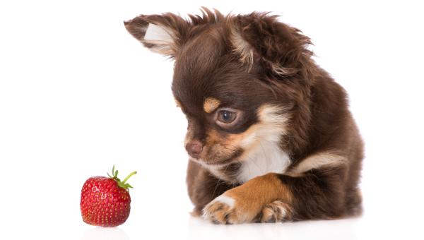 Chihuahua-Welpe der eine Erdbeere betrachtet