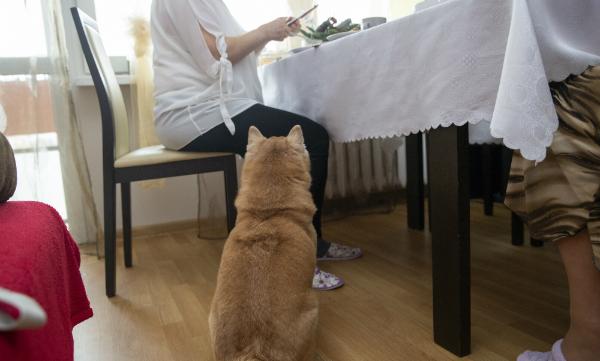 Bettelnde Hunde am Tisch ignorieren