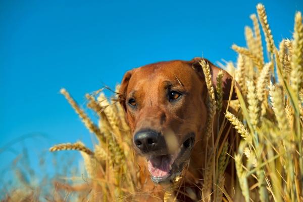 Vertragen Hunde Getreide ueberhaupt