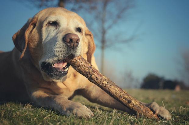 Hunde haben einen natürlichen Kautrieb