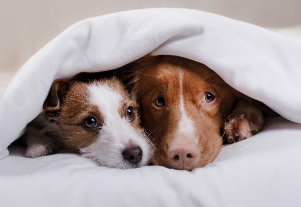 Zwei Hunde unter einer Decke