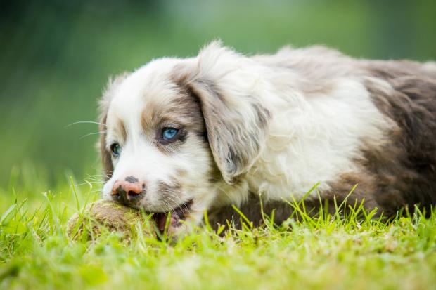Der Kautrieb beim Hund entwickelt sich bereits im Welpenalter