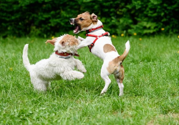 Wenn es zur Eifersucht zwischen Hunden kommt, besteht die Gefahr von Rangeleien