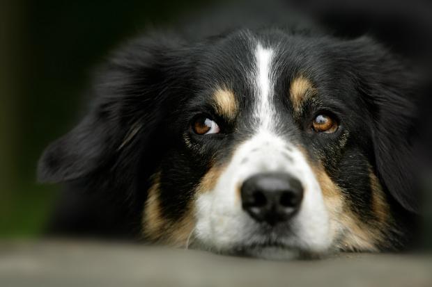 Hunde können traurig reagieren, wenn sie eifersüchtig sind