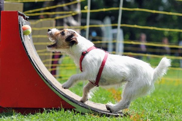 Hunde an die Flyballbox gewoehnen
