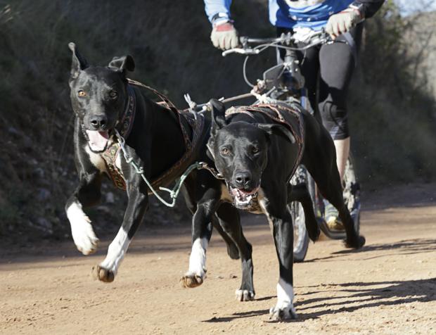 Hunde beim Canicross-Training
