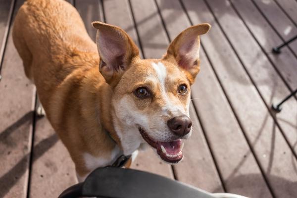 Getrocknete Rinderohren mit Fell werden von den meisten Hunden gut vertragen
