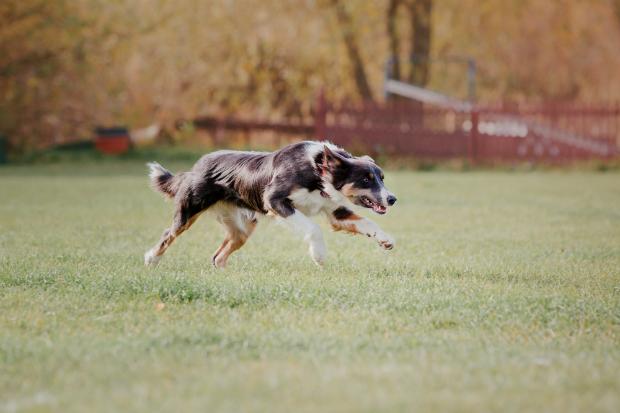 Welche Hundearten eignen sich für Canicross?