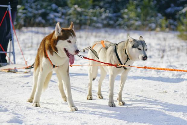 Schlittenhunde als Vorbild für Canicross