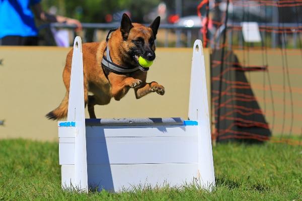 Belgischer Schaeferhund Flyball