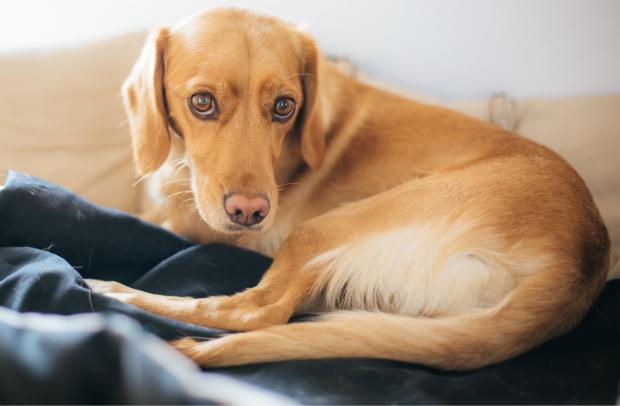 Der Hund reagiert träge und lustlos