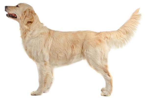 schwanzwedeln-hund