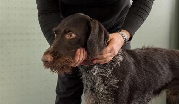 Hunde Physiotherapeutin prueft die Biegsamkeit der Halswirbelsaeule beim Jagdhund