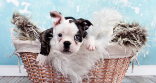 kleiner Welpe im Korb - französische Bulldogge