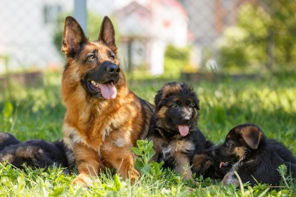 Deutscher Schaeferhund mit Welpen