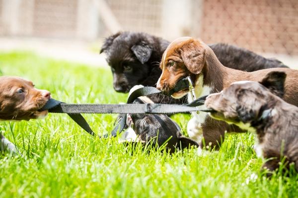 Zerrspiel von Welpen zerrspiele-mit-dem-hund