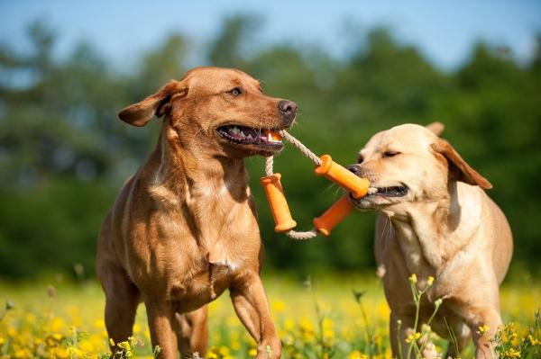 Zwei Labradore zerren an einem Spielzeug zerrspiele-mit-dem-hund