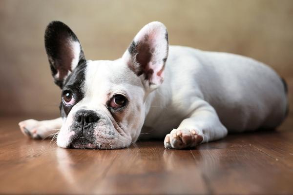 franzoesische-bulldogge-beliebteste-hunderassen-2020