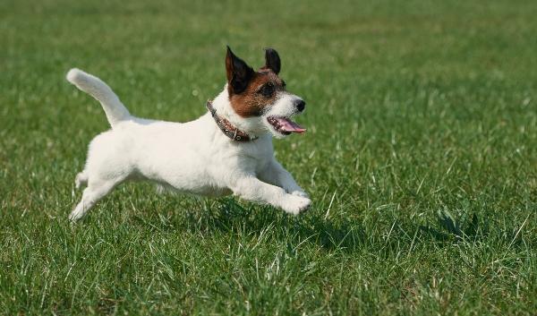 jack-russell-terrier-beliebteste-hunderassen-2020