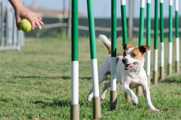 Ein Hund rennt durch Slalomstangen, dabei erhält er Kommandos von seinem Frauchen Welcher Hundesport ist der richtige für meinen Vierbeiner?