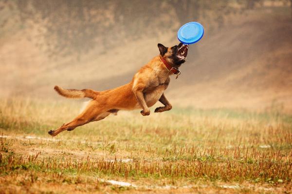 Ein Hund, der mitten in der Luft zu stehen scheint, versucht eine Frisbee-Scheibe in vollem Fulg zu fangen Welcher Hundesport ist der richtige für meinen Vierbeiner?