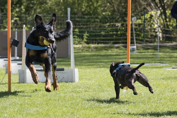 Zwei Hunde begegnene sich bei Flyerball. Während der eine Hund bereits auf dem Rückweg ist, muss der andere erst noch den Wendepunkt erreichen. Welcher Hundesport ist der richtige für meinen Vierbeiner?