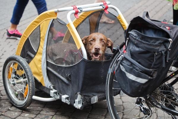 Hund im Fahrradanhaenger