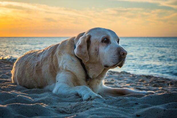 Älterer Hund am Strand