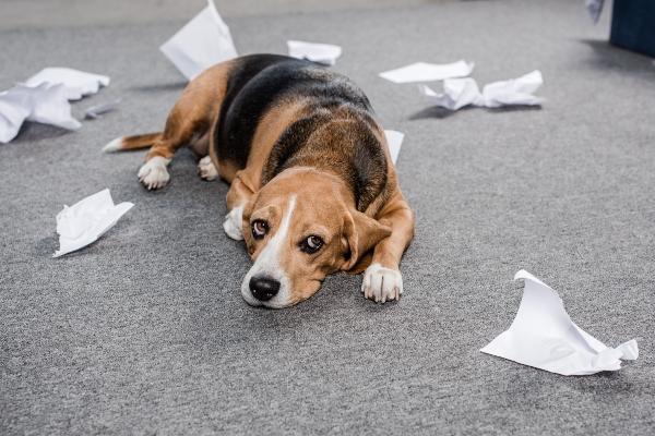 hund-liegt-neben-zerissenem-papier-haben-hunde-ein-schlechtes-gewissen