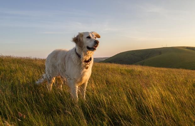 Goldener Retriever auf einem Feld - die Zucht verändert die Gehirne von Hunden