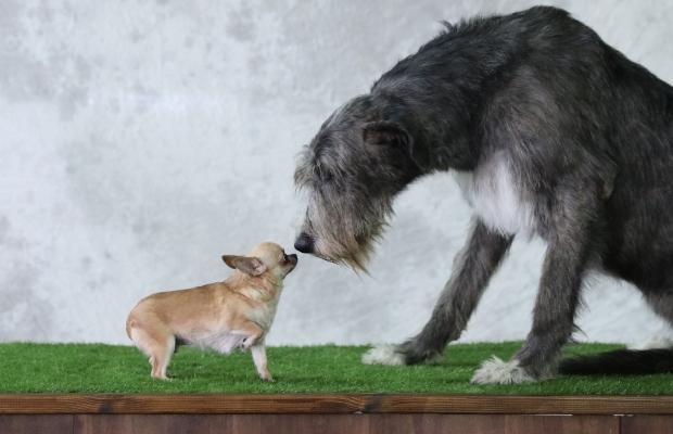 Ein großer und ein kleiner Hund beschnüffeln sich - So verändert Zucht die Gehirne von Hunden