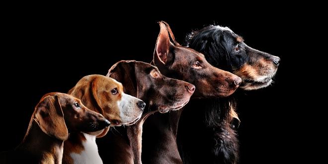 Hunderassen - verändert Zucht die Gehirne von Hunden